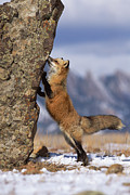 Color Stretching Posters - Red Fox Vulpes Vulpes Smelling Rock Poster by Konrad Wothe