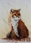 Fox Drawings Acrylic Prints - Red Fox Waiting on Breakfast Acrylic Print by Jimmy Smith