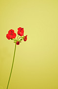 Yellow Background Posters - Red Geranium Poster by Gail Shotlander