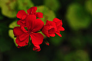 Red And Green Photo Metal Prints - Red Geranium Metal Print by Kaye Menner