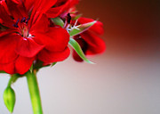 Country Framed Prints Photos - Red geranium by Toni Hopper