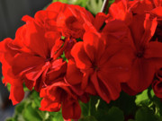 Red Geraniums Framed Prints - Red Geraniums Framed Print by Eva Thomas