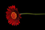 Gerber Daisy Art - Red Gerber 1 by Jessica Velasco