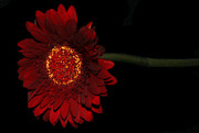 Gerber Daisy Art - Red Gerber 2 by Jessica Velasco