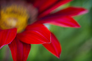 Gerber Daisy Art - Red Gerber 4 by Jessica Velasco