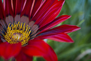 Gerbera Originals - Red Gerber 5 by Jessica Velasco