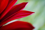 Gerber Daisy Art - Red Gerber 6 by Jessica Velasco