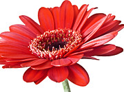 Colorful Photos Digital Art Posters - Red gerber daisy flower Poster by Artecco Fine Art Photography - Photograph by Nadja Drieling