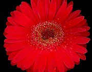 Rain Digital Art - Red Gerbera--Accented Edges by Suzanne Gaff