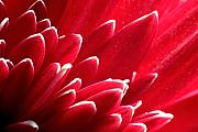Gerbera Art - Red Gerbera Daisy by Andre Giovina
