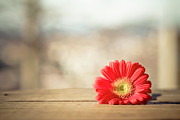 Focus On Foreground Photos - Red Gerbera Daisy by Daniela Romanesi