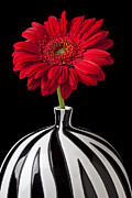 Chrysanthemums  Framed Prints - Red Gerbera Daisy Framed Print by Garry Gay