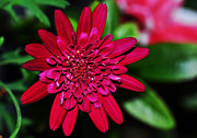 Red And Green Photo Metal Prints - Red Gerbera Daisy Metal Print by Kaye Menner
