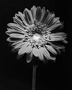 Studio Lighting Prints - Red Gerbera in Black and White Print by George Oze