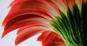Large Metal Prints - Red Gerbera Metal Print by Tony Grider