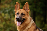 Indiana Art Posters - Red German Shepherd Dog Poster by Sandy Keeton