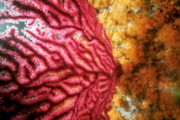 Gorgonian Photos - Red Gorgonian growing on ocean floor by Sami Sarkis