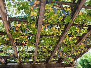 Bunch Of Grapes Art - Red Grapes Hanging from a Trellis Napa Valley California by George Oze