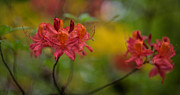 Rhododendron Photos - Red Groups by Mike Reid