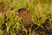Kelly Digital Art Posters - Red Grouse Chick Calling Poster by John Kelly