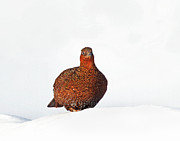 Temperature Framed Prints - Red Grouse Framed Print by Photographing Britains Wildlife