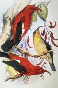 Tropical Wildlife Paintings - Red Hawaiian Honeycreeper by Hawaiian Legacy Archive - Printscapes