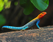 Kenya Photos - Red-headed Agama by Tony Beck