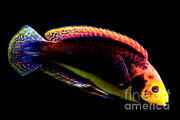 Reef Fish Posters - Red Headed Fairy Wrasse Poster by Danté Fenolio
