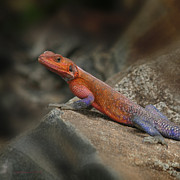 Kenya Photos - Red Headed Rock Agama by Joseph G Holland