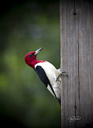 Cris Hayes Posters - Red Headed Woodpecker HDR - Artist Cris Hayes Poster by Cris Hayes