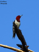 B A Bowen Photography Framed Prints - Red Headed Woodpecker on a Snag Framed Print by Barbara Bowen