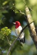 Full-length Portrait Prints - Red-headed Woodpecker Perched On A Tree Print by George Grall