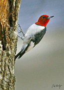 Lowcountry Photos - Red-Headed Woodpecker by Phill  Doherty