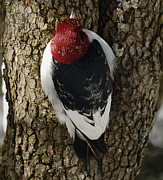Randolph County Prints - Red-headed Woodpecker Print by Randy Bodkins