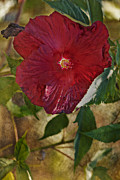 Photo Mixed Media - Red Hibiscus by Bonnie Bruno