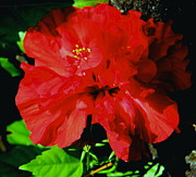 Shades Of Red Posters - Red Hibiscus Poster by Carol Komassa