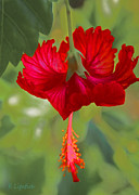 Kerri Ligatich Digital Art - Red Hibiscus by Kerri Ligatich