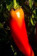 Hot Pepper Framed Prints - Red Hot Pepper Framed Print by Douglas Barnett