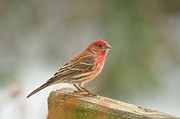 Carpodacus Mexicanus Photo Posters - Red House Finch Poster by Pamela Baker