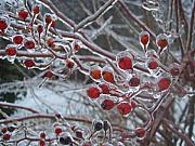 New England Winter Metal Prints - Red Ice Berries Metal Print by Kristine Nora
