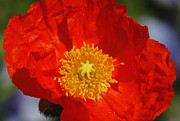 Red And Yellow Posters - Red Iceland Poppy Poster by Suzanne Gaff