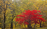 Japanese Maple Posters - Red Into Yellow Poster by Eggers   Photography
