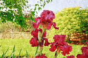 Andee Photography - Red Iris Party Painterly