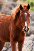 Wild Horse Prints - Red Print by James Marvin Phelps