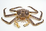 Pincers Prints - Red King Crab Print by David Nunuk