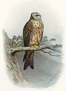 Bird Drawing Prints - Red Kite, Historical Artwork Print by Sheila Terry