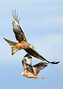 Clare Scott Prints - Red Kite Soaring High Print by Clare Scott