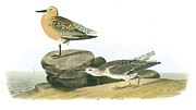 Birk Framed Prints - Red Knot Framed Print by John James Audubon