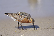 Atlantic Beaches Framed Prints - Red Knot Sandpiper Eating Horseshoe Framed Print by Steve Winter