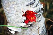 Botanica Prints - Red Leaf Caught in Bark Print by George Oze